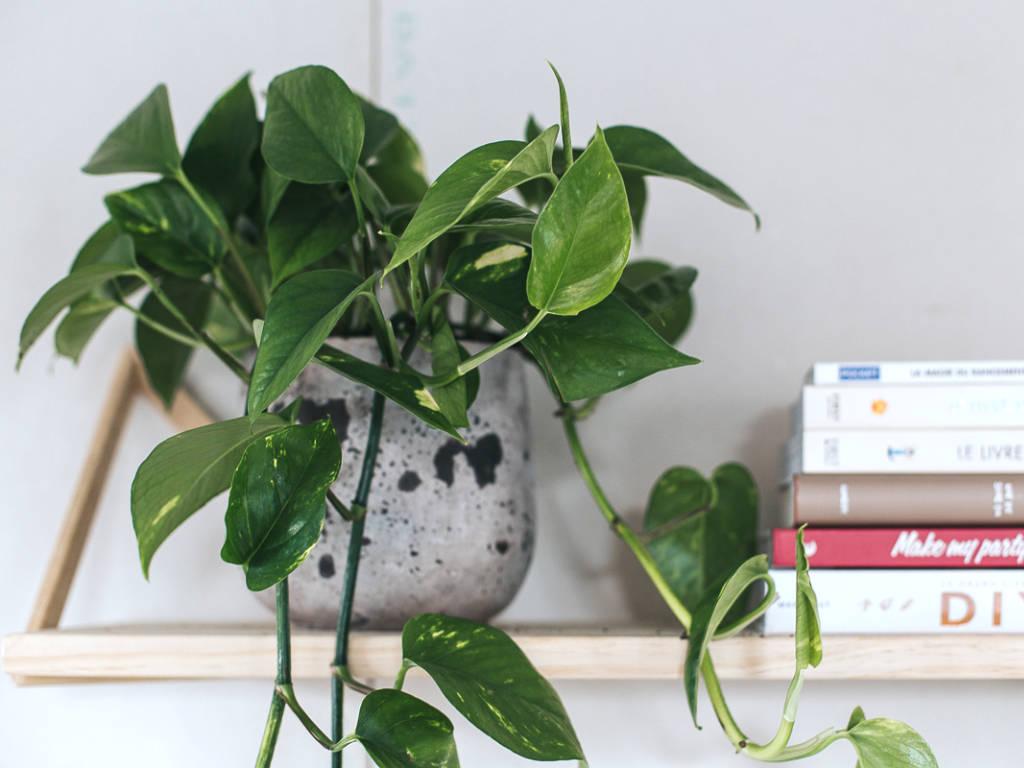 plante d'intérieur retombante