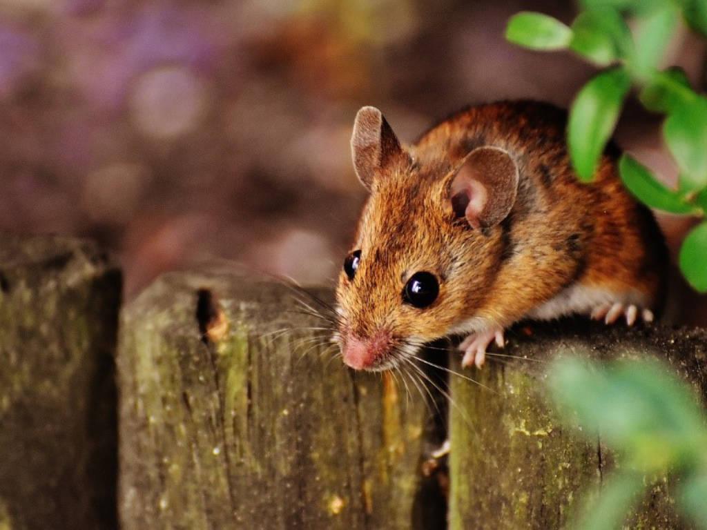 Se débarrasser une bonne fois pour toute des souris dans votre maison